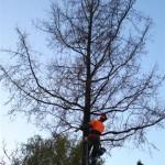 Boom snoeien door middel van een boomklimmer